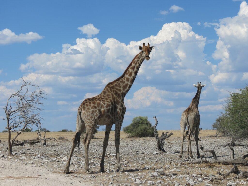 Giraffes Etosha Namibia travel blog Africa