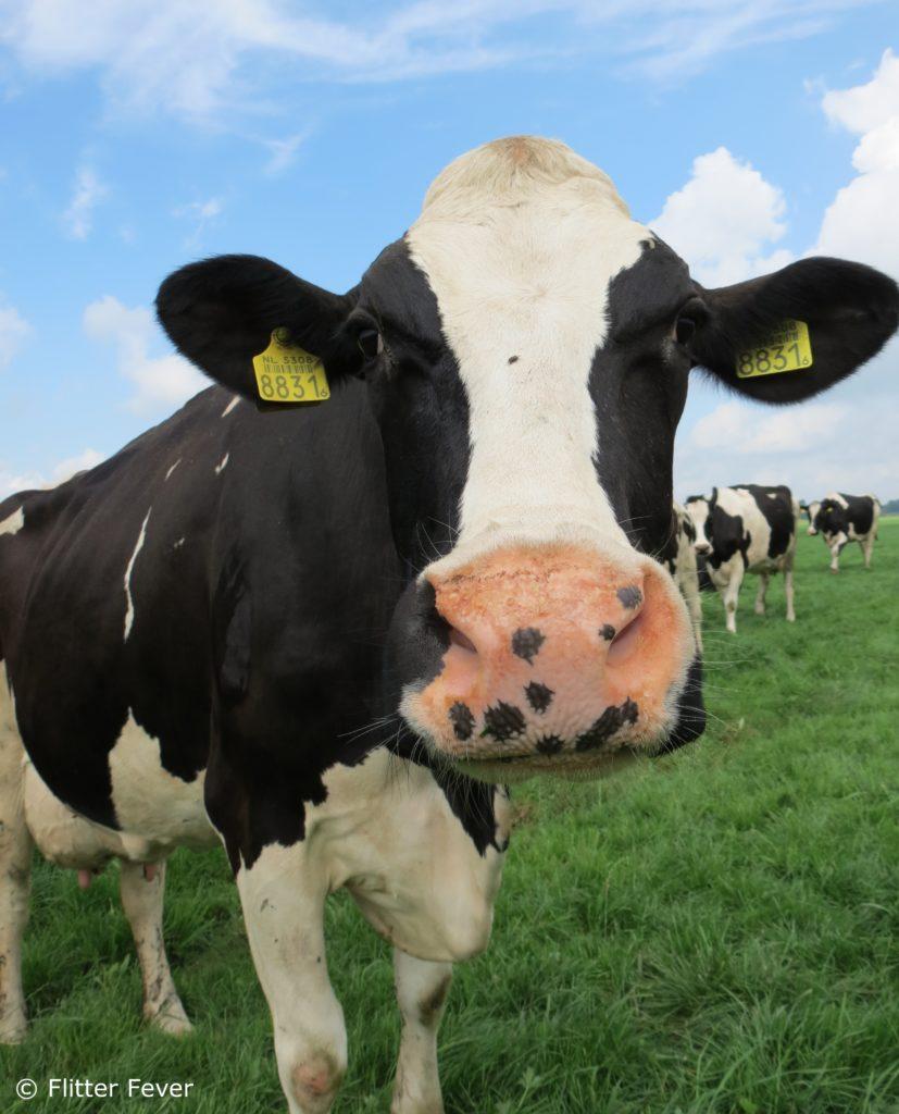 Cow hugging cuddling Netherlands Melkunie Campina koe koeknuffelen