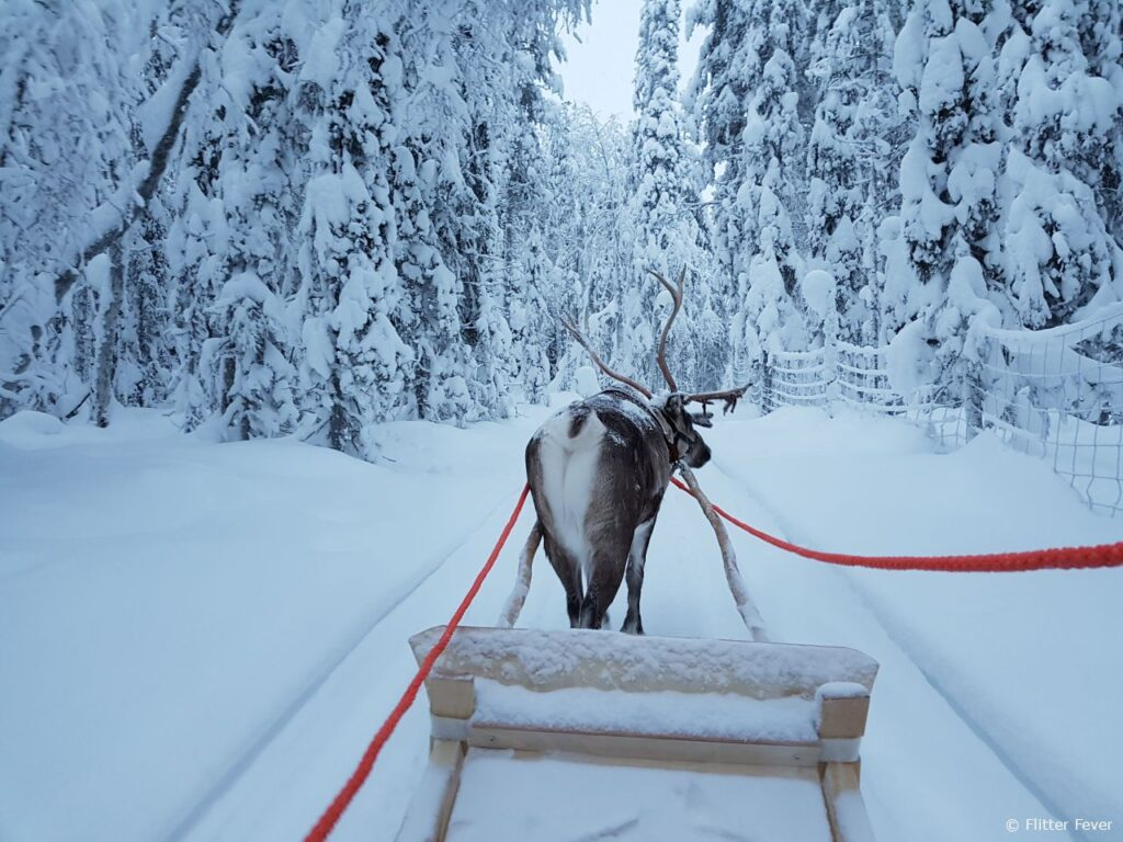 Reindeer Tornado takes a ride with me in Finnish Lapland