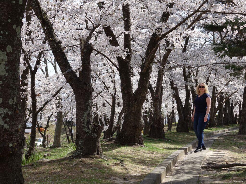 Wandelen door Joyama Park met vol kersenbloesem