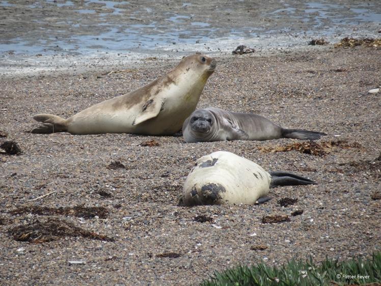Elephant seals on the beach of Peninsula Valdes Argentina