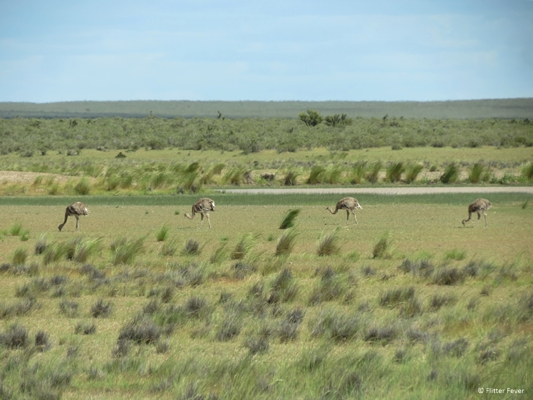 Ostriches at Peninsula Valdes