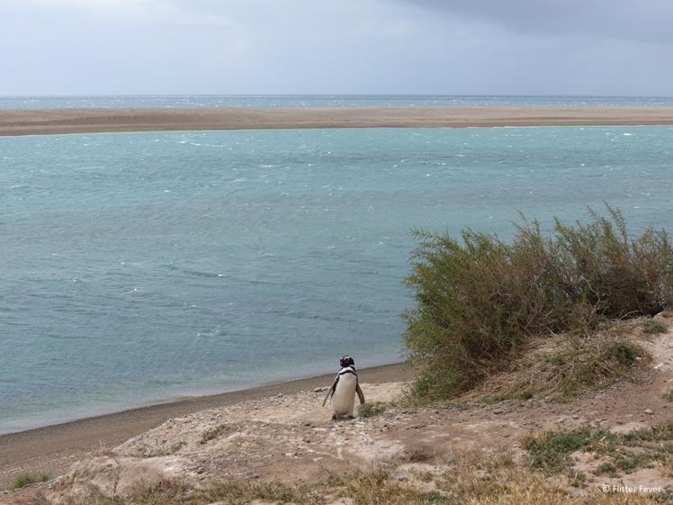 Penguin walking alone on the beach of Peninsula Valdes