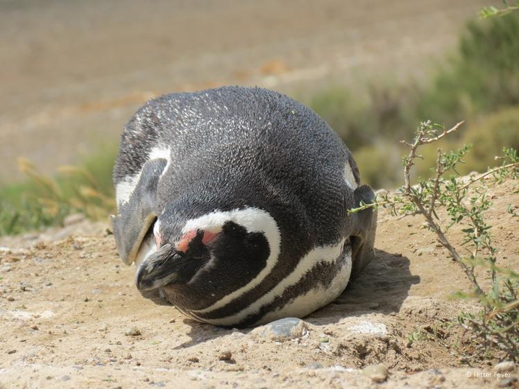 Sleepy penguin at Peninsula Valdes