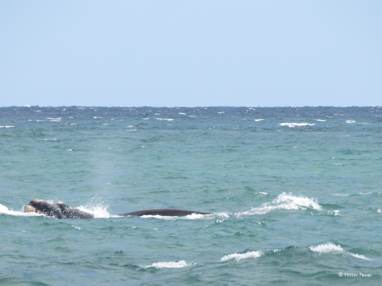 Southern Right Whale Puerto Piramides Peninsula Valdes