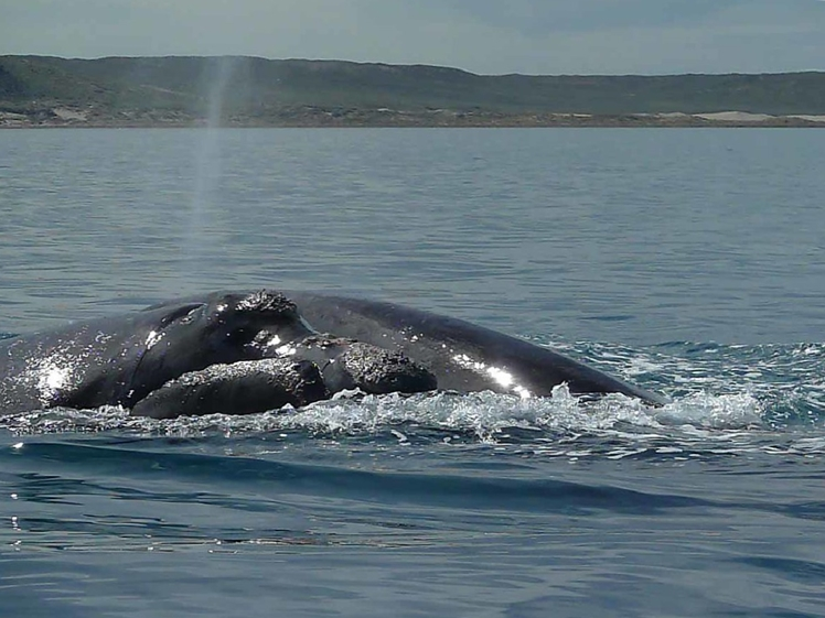 Southern Right Whale breathing at Peninsula Valdes (photo credits Edith Schreurs)