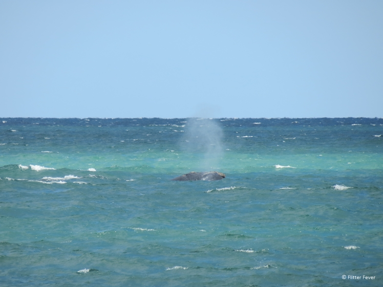 Southern Right Whale seen from the beach in Puerto Piramides Peninsula Valdes