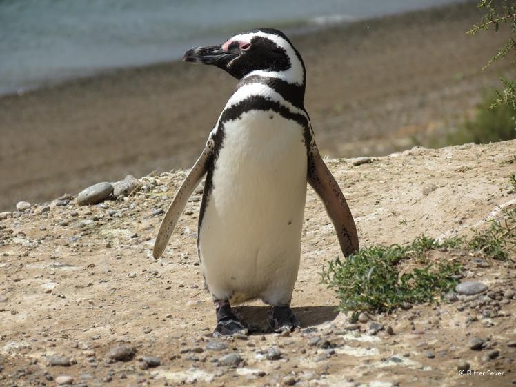 Strike a pose - Magellanic penguin - Peninsula Valdes
