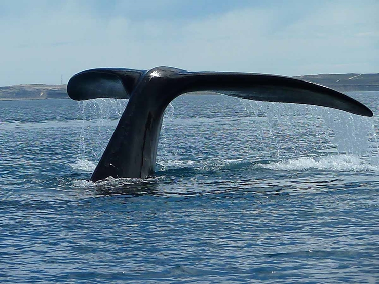 Tail of a whale near Valdes Peninsula