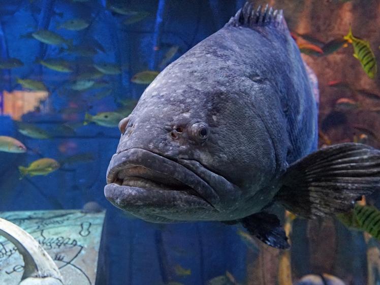 Big fish in Dubi Mall Aquarium