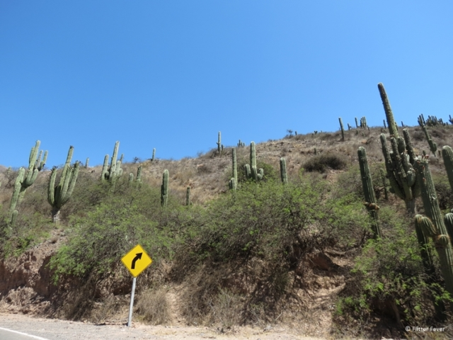 Cacti growing up the hill