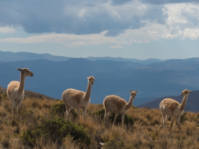 Guanacos on top of mountain in Salta Province