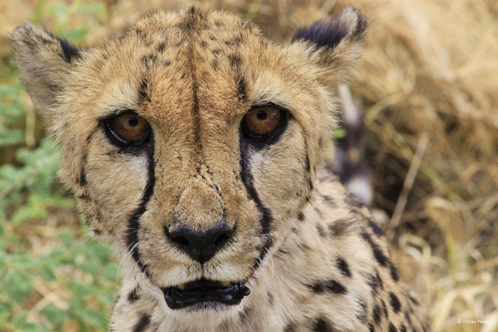 Standing face-to-face with a cheetah in Namibia