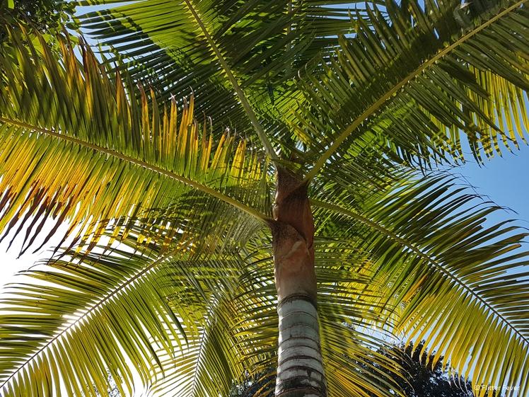 Palm tree Bang Bao Beach Koh Chang