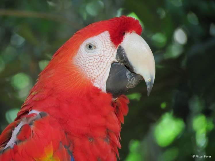 Red parrot in Brazil close up shot Iguazu Falls